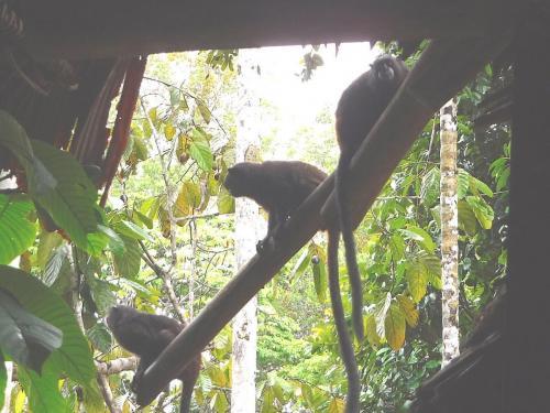 Wooly monkeys