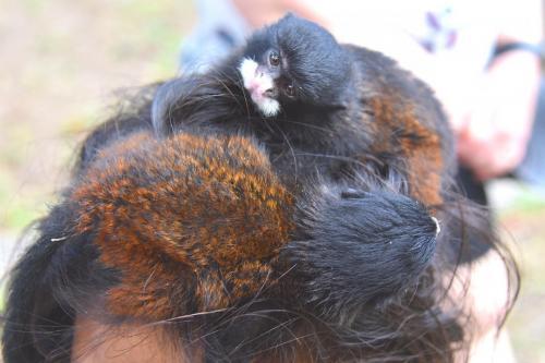 baby monkey pets