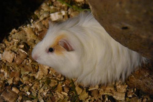 National dish - Guinea Pig
