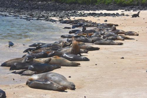 Seals on Isla Santa Fe