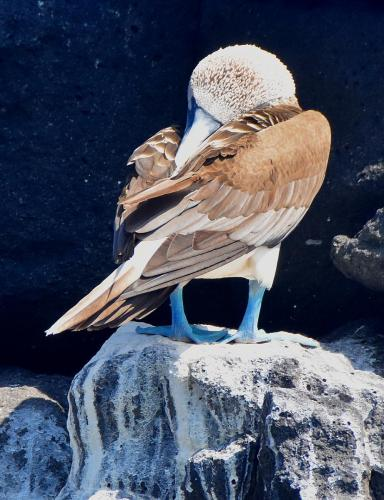 BOOBIE! (Blue footed Boobie) on North Seymour Island
