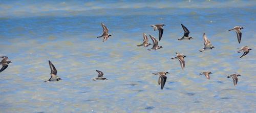 Sandbar birds