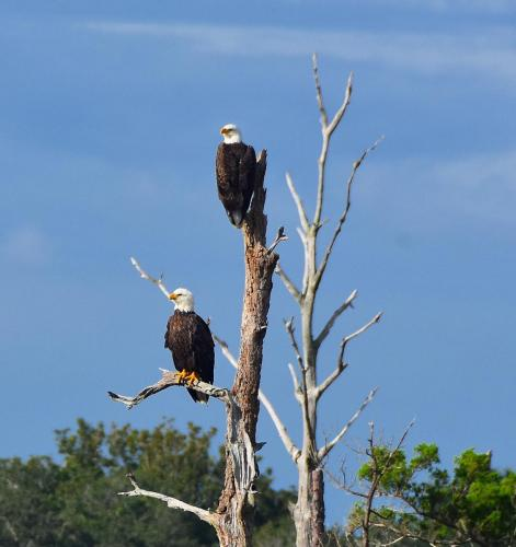 Eagles from the ICW
