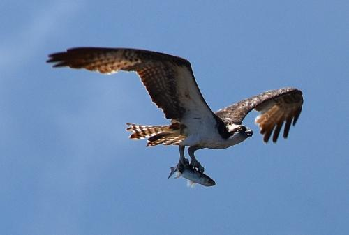 Second osprey with lunch