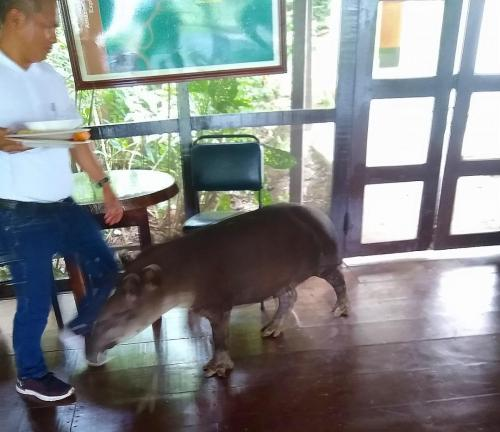 This tapir walked in during lunch